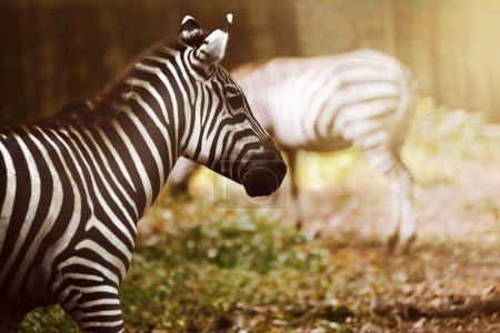 Two zebras on the grassland