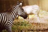 Two zebras on the grassland