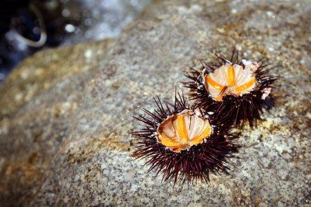 Sea urchins opened out on stone, Sardinia  island,...