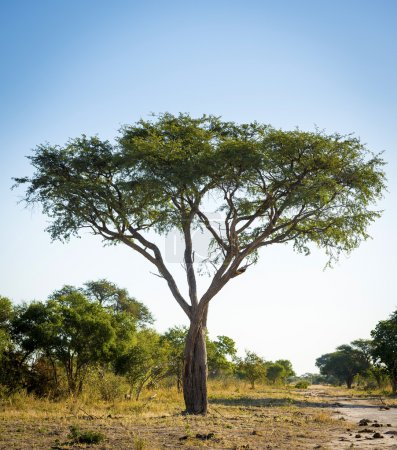 Tree in Africa