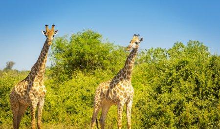 Photo pour Paire de girafes à l'état sauvage dans le Parc National de Chobe, Botswana, Afrique - image libre de droit