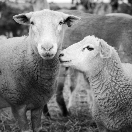 Photo pour Moutons et agneaux dans un enclos en Australie en noir et blanc - image libre de droit
