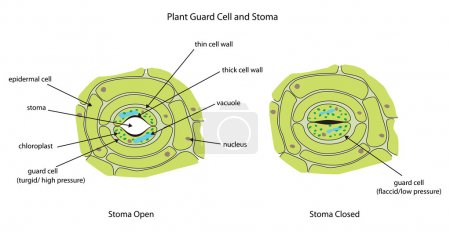 Labeled diagram showing plant stoma open and close...