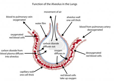 Fully labelled diagram of the alveolus in the lung...