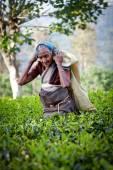 Maskeliya, Srí Lanka - 4. ledna: výběr ženské čaje v čajové plantáže v Maskeliya, 4 ledna 2015. Přímo i nepřímo více než jeden milion na Srí Lance jsou zaměstnáni v průmyslu čaj