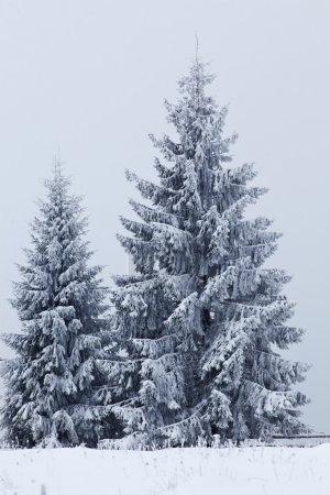 Photo pour Paysage d'hiver avec des sapins enneigés - image libre de droit