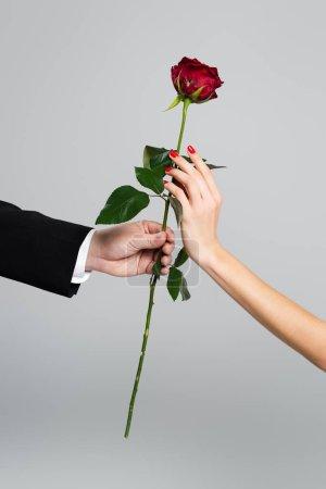 Photo pour Vue recadrée de l'homme donnant rose rouge à la femme isolée sur gris - image libre de droit