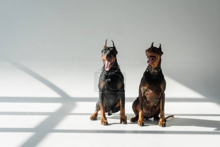 dobermans in chain collars sitting on grey background with shadows
