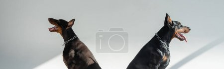 Photo for Two dobermans sitting on grey background with shadows, banner - Royalty Free Image