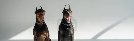 two doberman dogs sitting on grey background with shadows, banner