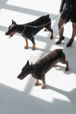 cropped view of woman with two dobermans on chain leashes on white floor with shadows