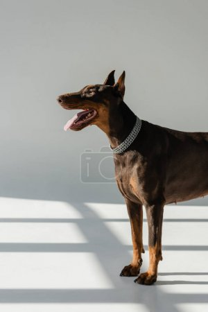 doberman dog in chain collar on grey background with shadows