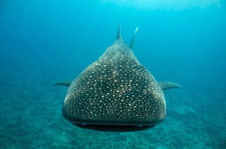 Whale Shark Approaching