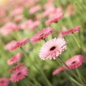Květiny růžová gerbera