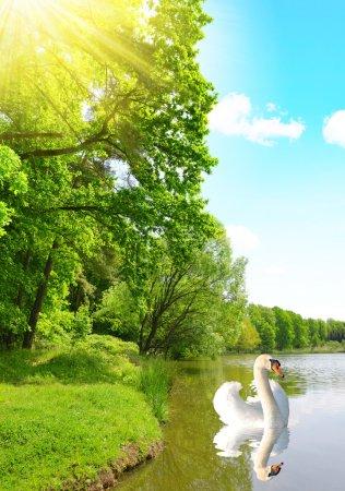 Photo pour Cygne sur un étang dans la forêt. Paysage printanier . - image libre de droit