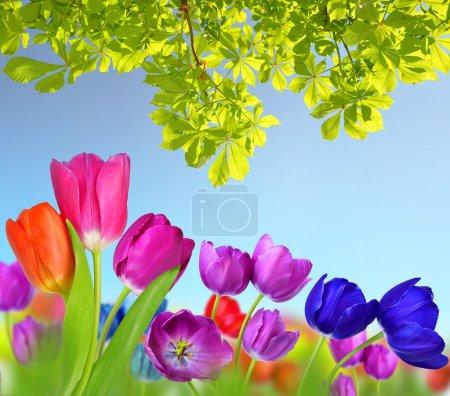 bunte Blumen Tulpe und Zweig der Kastanie.