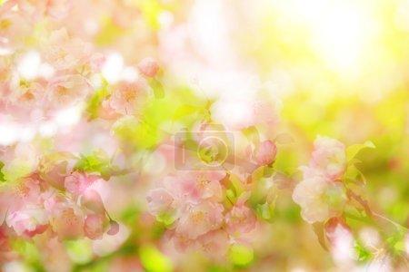 Spring bokeh flowering tree against sunlight.