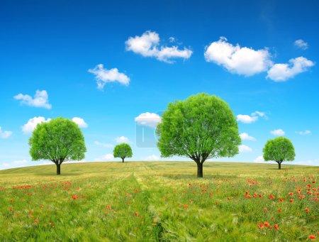 Trees in wheat field.