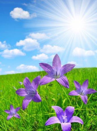 Photo pour Bellflowers sur prairie printanière avec ciel ensoleillé . - image libre de droit