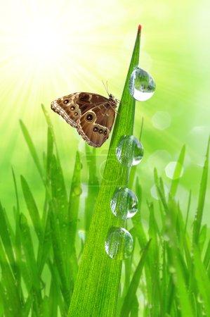 Photo pour Goutte d'eau sur herbe verte et papillon Morpho - image libre de droit