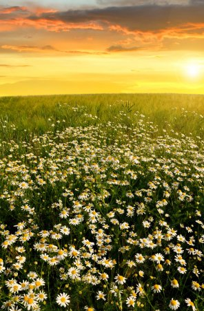 Photo for Field of marguerites in the sunset - Royalty Free Image