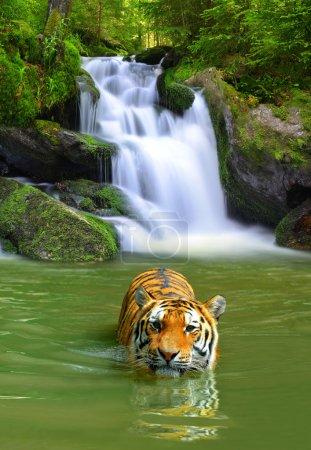 Photo pour Tigre sibérien dans l'eau - image libre de droit