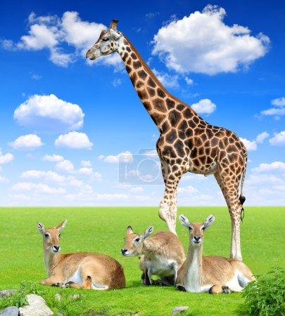Photo pour Antilechwe rouge avec girafe sur prairie - image libre de droit