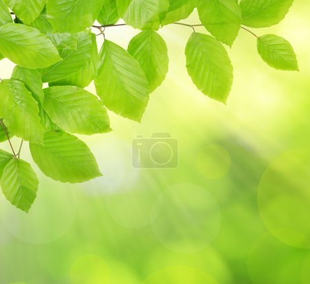 Photo for Spring Beech branch with green leaves - Royalty Free Image