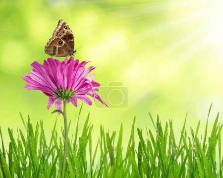 Photo for Purple spring flower with dewy grass and butterfly - Royalty Free Image