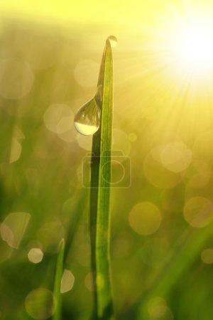 Photo pour Herbe fraîche avec gouttes de rosée au lever du soleil. Nature Contexte - image libre de droit