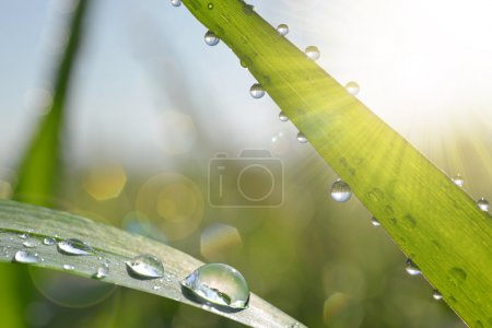 Fresh green grass with dew drops closeup.