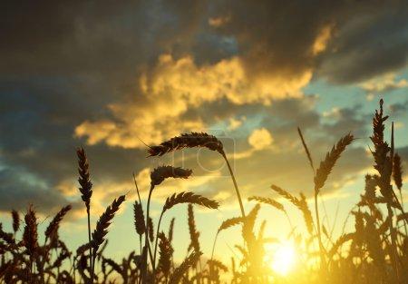 Silhouette of a wheat field