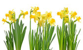Narcissus flowers isolated