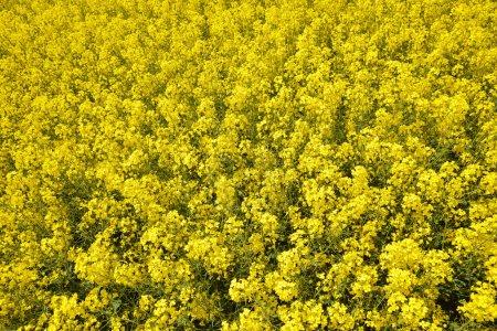 Photo pour Gros plan d'un champ de colza en fleurs. Saison de printemps . - image libre de droit