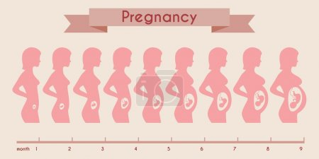 Growth of human fetus with female silhouette in weeks and months