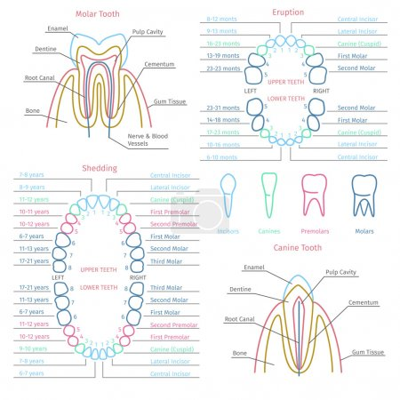 Adult and baby tooth dental anatomy vector infographics