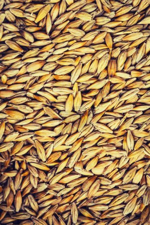 barley grain background from the top close up