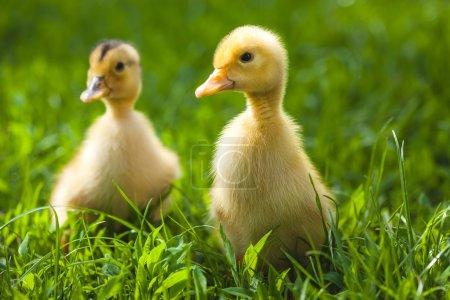 Fluffy chicks walks  in green grass