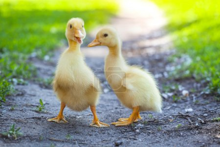 fluffy chicks walks  in green grass