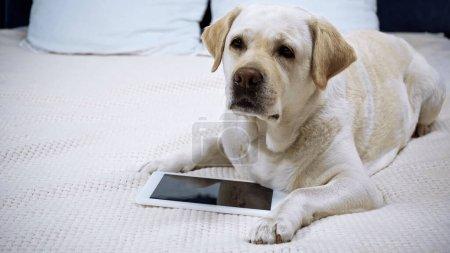 golden retriever lying near digital tablet with blank screen on bed