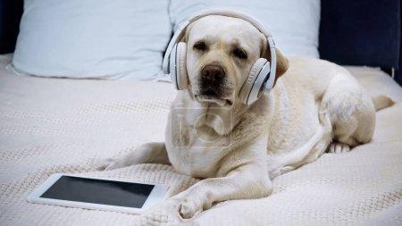 Photo pour Golden retriever dans les écouteurs sans fil situés près de la tablette numérique avec écran vide - image libre de droit