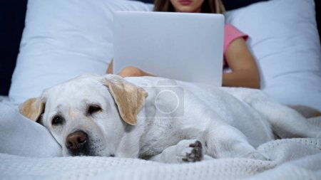 golden retriever lying while freelancer working from home on blurred background