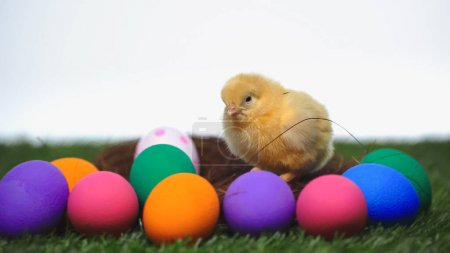 Photo pour Petit poulet près des œufs de Pâques peints isolés sur blanc - image libre de droit