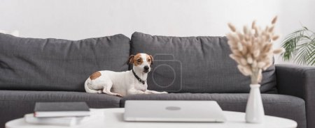 jack russell terrier on grey couch in modern living room, horizontal banner