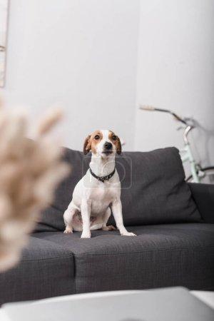 Jack Russell Terrier auf grauer Couch im modernen Wohnzimmer mit verschwommenem Vordergrund