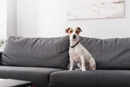 jack russell terrier sitting on grey couch in modern living room
