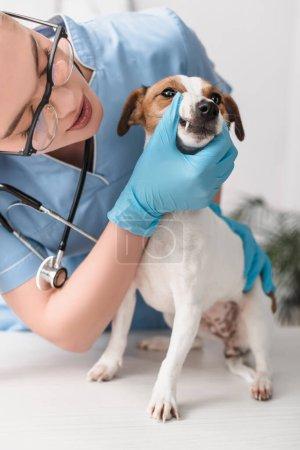 Foto de Joven veterinario en guantes de látex examinar jack russell terrier - Imagen libre de derechos
