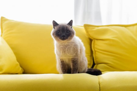 cat looking at camera while sitting on yellow couch at home