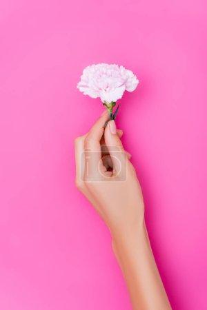 Draufsicht der weiblichen Hand mit Nägeln, die mit glänzendem Emaille und Nelkenblume auf rosa Hintergrund bedeckt sind