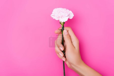 partial view of woman with glossy manicure holding carnation flower on pink background